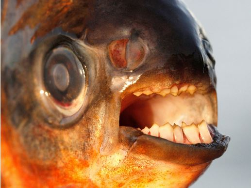 La dentition d'un pacu, le cousin du piranha